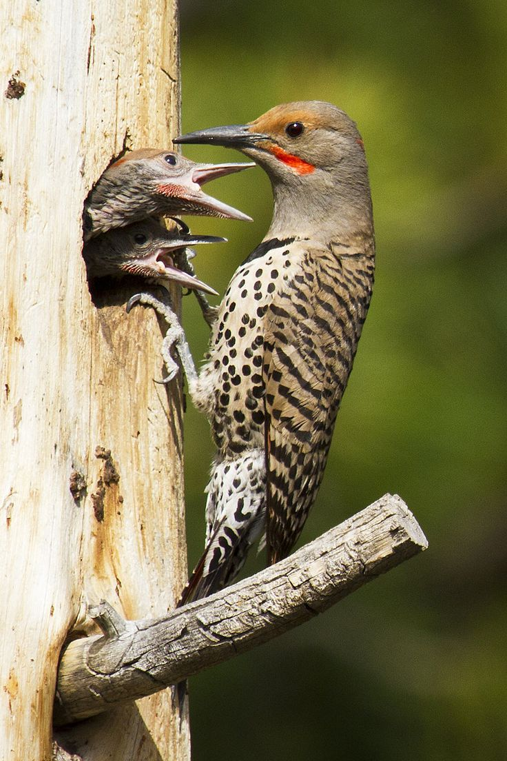 Although the Northern Flicker is a woodpecker, it spends ...