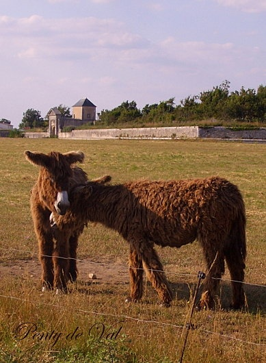 #75 - Pay a visit to these cute donkeys at the stunning Ile de Ré  :)