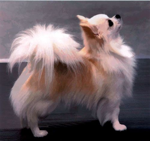 long coat chihuahuas | Long Coat Chihuahua