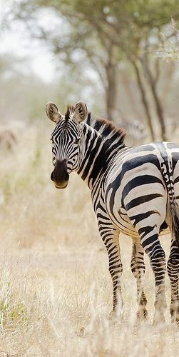 Plains zebra (Tanzania)                                                                                                                                                                                 More