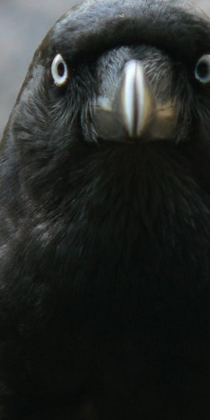 Aussie Crow....The crow is a spirit animal associated with life mysteries and magic.  The power of this bird as totem and spirit guide is provide insight and means of supporting intentions. Sign of luck, it is also associated with the archetype of the trickster; be aware of deceiving appearances.  If the crow has chosen you as your spirit or totem animal, it supports you in developing the power of sight, transformation, and connection with life's magic.