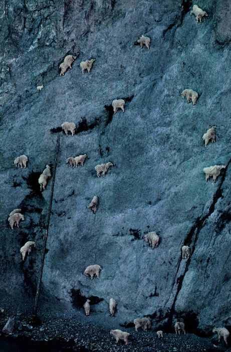 Bellying up for a shot of salt, goats come from miles around to ingest a solution of various mineral salts seeping from a cliff known as Walton Goat Lick in Glacier National Park, National Geographic, April 1995
