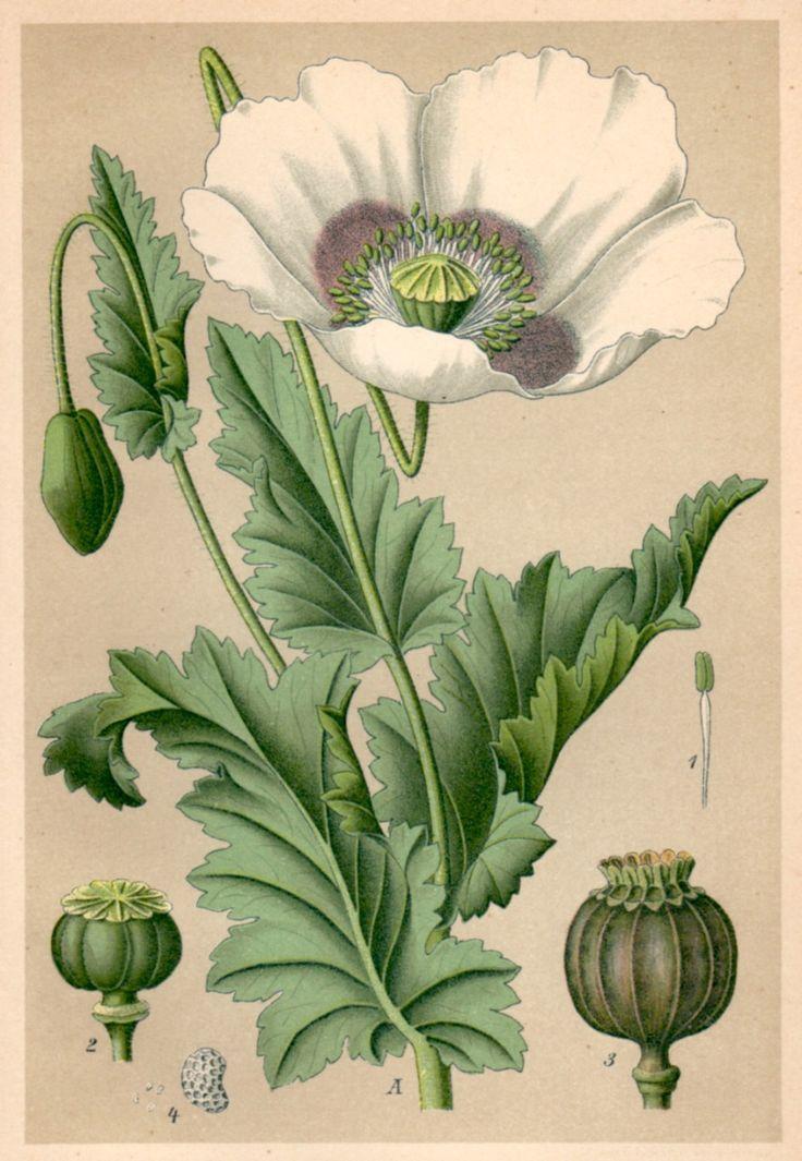1901 Opium Poppy, Botanical Print, Papaver somniferum, Schlafmohn https://www.etsy.com/uk/listing/207489407/1901-opium-poppy-botanical-print-papaver?ref=shop_home_active_3