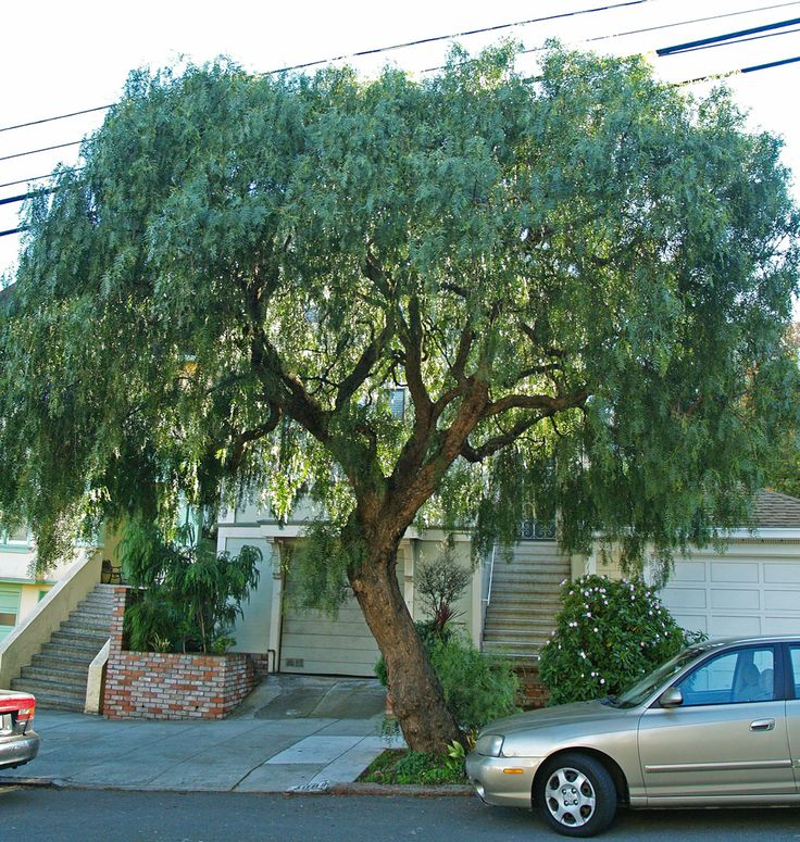 California Pepper Tree (Schinus molle) - Friends of the Urban Forest