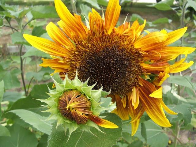 vangogh sunflowers aka jolly joker plantes n 2 pinterest plantes. Black Bedroom Furniture Sets. Home Design Ideas