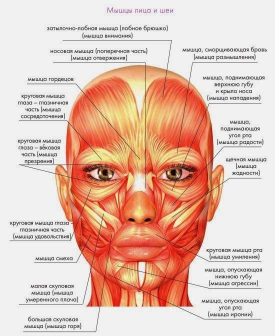 мышцы лица - Поиск в Google