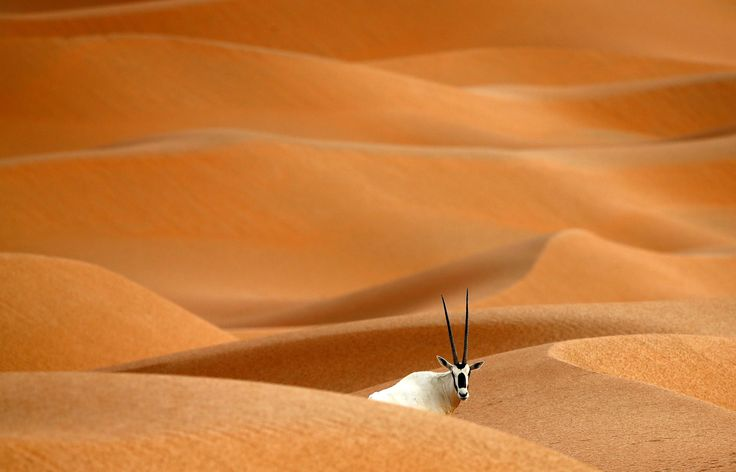 An Arabian Oryx in the Arabian Oryx Sanctuary in Umm Al-Zamool, 290 kilometers south of Abu Dhabi, near the border with Oman and Saudi Arabia, on March 1, 2016. The sanctuary which is reserve for many different animals stretches over an estimated area of 8,900 square kilometers and currently hosts nearly 155 Arabian Oryx, which were reintroduced into the its natural habitat in the U.A.E in a five-year conservation plan launched by the U.A.E's late ruler Sheikh Zayed bin Sultan Al Nahyan.