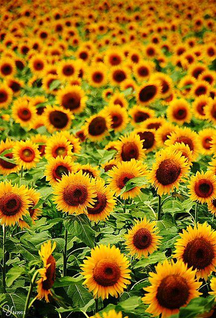 Sunflower field, Niigata, Japan