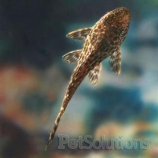 """Common Plecostomus 6"""""""