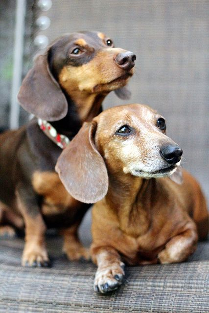 Dachshunds - love the older dog with the frosty face! #doxieposse #doxiemafia