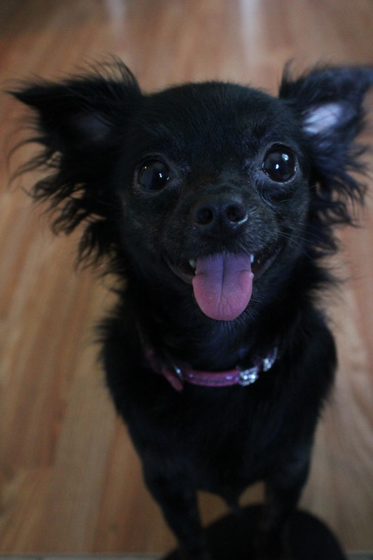 1000 images about chihuahuas on pinterest cartoon devil and blue - Black Long Hair Chihuahua