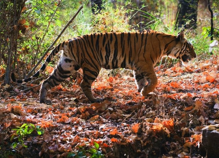 The Indian tiger is the largest population remaining today. It is in deep trouble, like many others, because genetic isolation is taking place. One ray of hope is some increase in variation, but this could be a fault due to sampling. #tigers #India #tiger