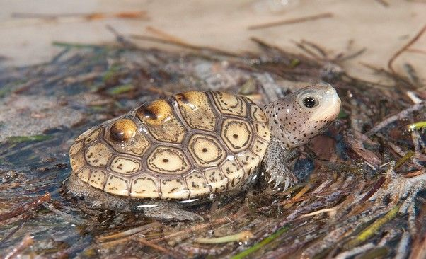FreshMarine.com - Diamondback Terrapin - Malaclemys terrapin - Buy Blue Headed Diamondback Concentric Turtle Now and Save!
