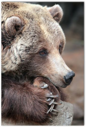 Grizzly bear complacancy