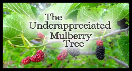 The Underappreciated Mulberry Tree - All my life mulberries have been one of my favorites, imagine my surprise when I found out most people despise this wonderful tree, they consider it invasive and messy.So I thought I would share a few of the wonderful qualities of this underappreciated tree and perhaps persuade a few self sufficient folks to make it part of their homestead. Read More at http://smalltownhomestead.com/the-underappreciated-mulberry-tree/