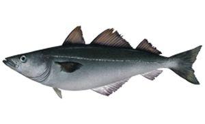 NH Seafood's pollock recipes