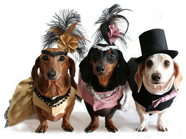 They are so cute. Ready for the show! Vegas dachshunds!