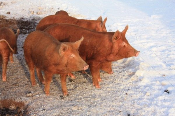 Tamworths in snow. Peelham organic farm