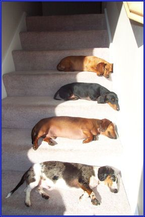 Dachshund Varieties - Dappled, smooth red, smooth black and tan, long haired red and size from standard & tweenie to mini.