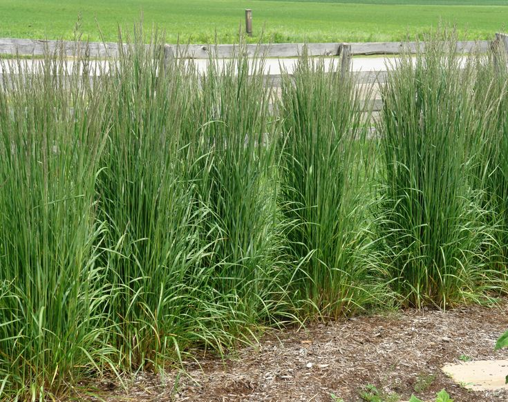 Grass acutifolius 39 karl foerster 39 karl foerster for Tall ornamental grasses for screening