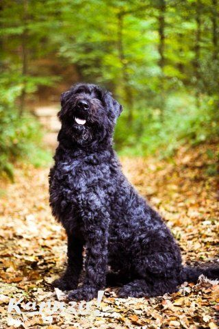 Bouvier des Flandres - I would definitely have to name him Hercule. @ivymaewilliams