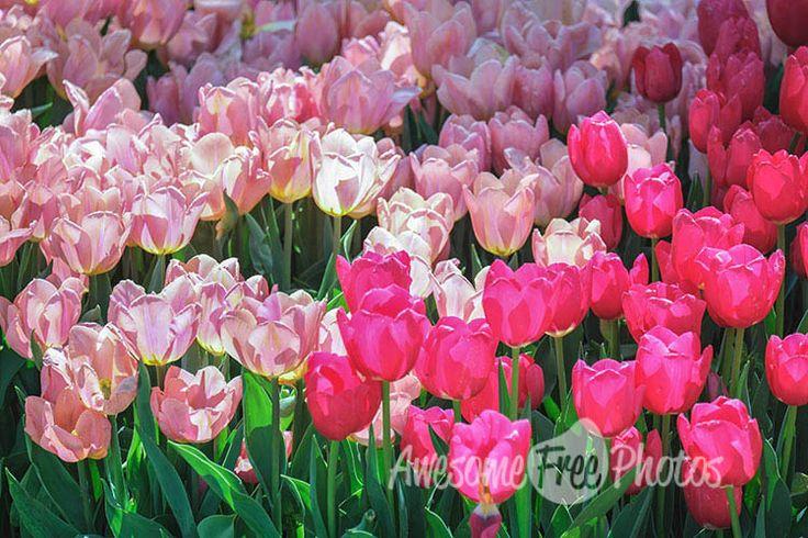 49-awesomefreephotos-flowers-festival-tulips-750
