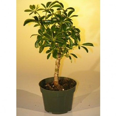 Pre Bonsai Tree www.teeliesfairygarden.com Fairies and their pixie friends would be thrilled to see these awesome pre bonsai tree. They can build a tree house beside it. #fairybonsai