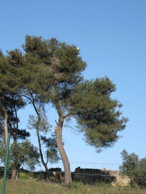LUIS DESENHA: Garça em pinheiro