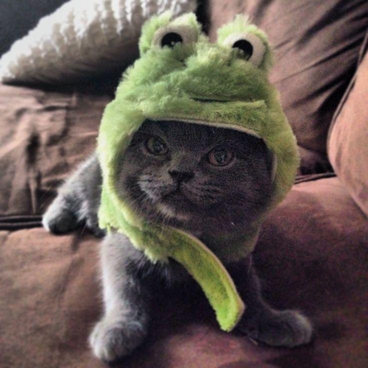 Hobie cat the cutest Scottish fold in America!  He loves Halloween.. Kittens in costumes rock..