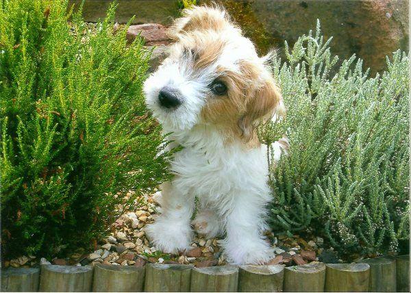 I love terrier! .sporting lucas terrier.