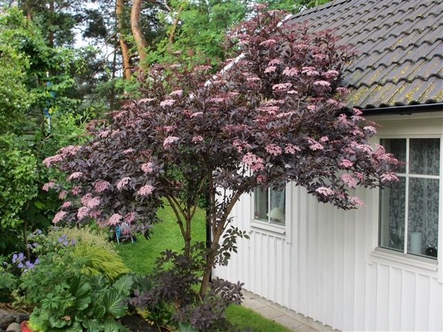 25 best ideas about sambucus nigra black lace on pinterest black lace elderberry sambucus. Black Bedroom Furniture Sets. Home Design Ideas