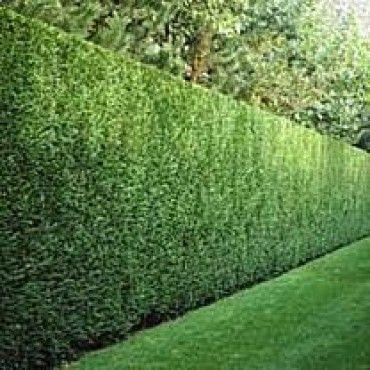 pittosporum silver sheen hedge