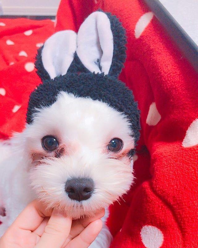 犬の日〜♫ #マルチーズ部 #マルチーズ#愛犬#ペット#犬の日