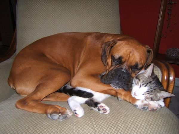 : Snuggles, Funnies Pictures, Sweet, Best Friends, Boxers Dogs, Pet, Dogs Cats, Cuddling Buddies, Dogcat