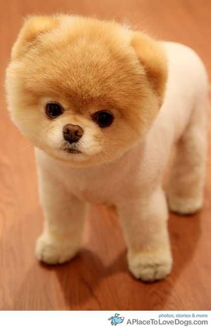 Boo The Cutest Pomeranian