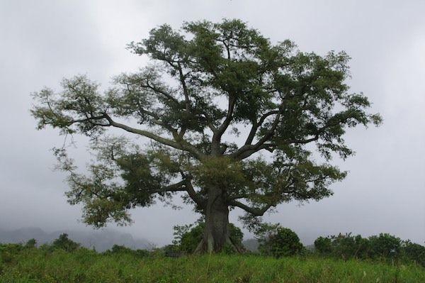 Reise nach Kuba (2013): Baum im Vinales Tal. Mehr Bilder von Vinales: https://www.bergauf.ch/exped/reise-nach-kuba/vinales