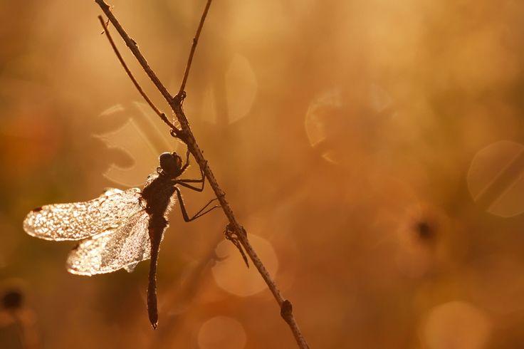 Dragonfly, dew & sunrise