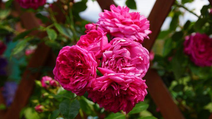Плетистая роза Laguna