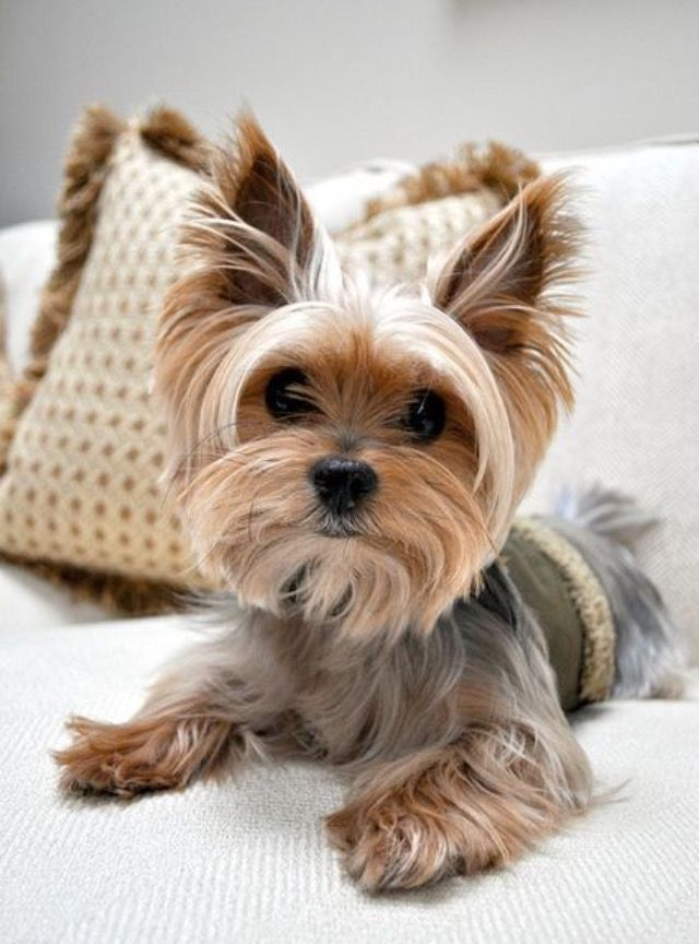 female yorkie haircuts 21 best yorkie haircuts images on yorkies 3159 | 8a8ce320317cc3f1eab4514db038c0fe yorky teacup yorkie