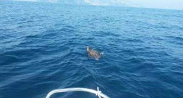 Salvata tartaruga in difficoltà tra Capri e Punta Campanella