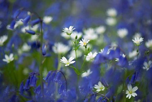 Мелкие белые и голубые цветы, фотограф Jacky Parker