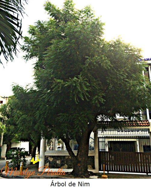 El Árbol de Nim es muy apreciado en muchas regiones por sus múltiples usos como medicinal, maderable, en la industria cosmética y como plaguicida. Su nombre científico es Azadirachta indica.