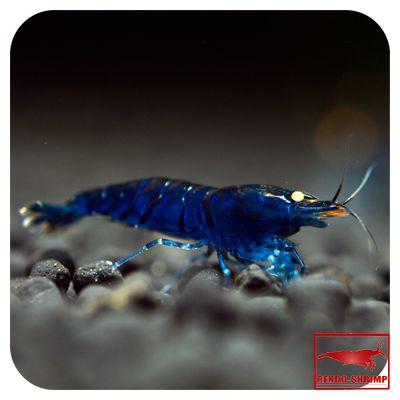 Blue Tiger Shrimp