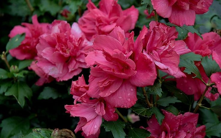 Lucy Rose Of Sharon Hibiscus Althea Lucy Is The Best