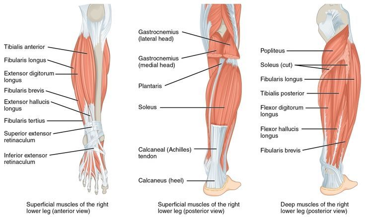 Anatomy Of Leg And Foot Muscle Anatomy Of The Lower Leg Gastrocnemius And Soleus Vitamoves