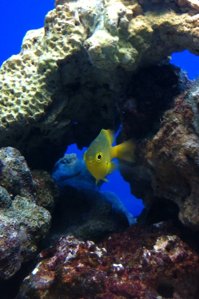 My new fish! Blue/Green Chromis yellow'd up! :)Chromi Yellowd, Bluegreen Chromi