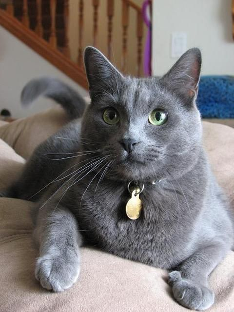 Pictures of Chartreux Cat Breed