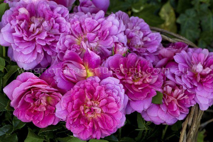 Princess Anne.  David Austin roses