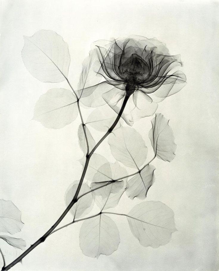 Fotografías de rayos X de flores de hace ochenta años