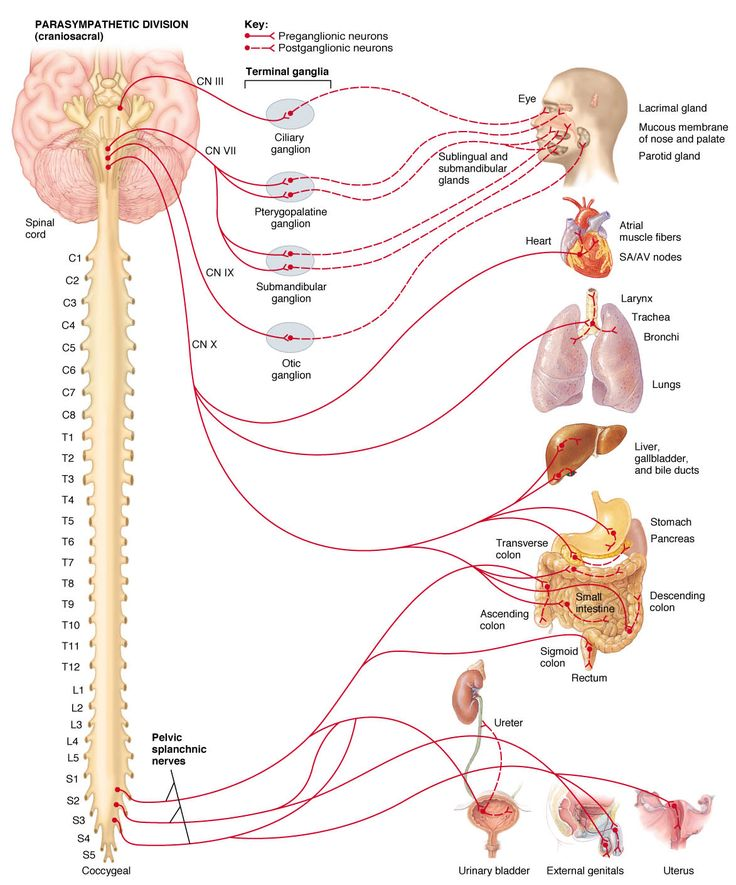 27 Best Images About Pelvic Anatomy On Pinterest